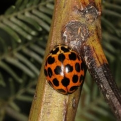 Harmonia conformis (Common Spotted Ladybird) at Goorooyarroo - 7 Nov 2020 by kasiaaus