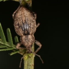 Perperus sp. (genus) (Weevil) at Goorooyarroo - 7 Nov 2020 by kasiaaus