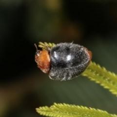 Cryptolaemus montrouzieri (Mealybug ladybird) at Goorooyarroo - 7 Nov 2020 by kasiaaus