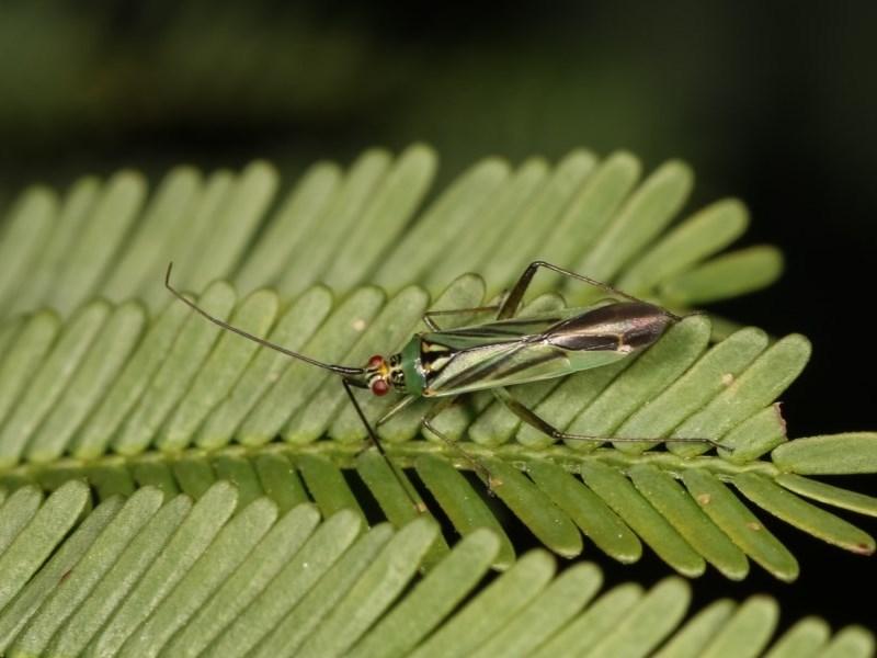 Miridae sp. (family) at Goorooyarroo - 7 Nov 2020