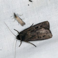 Agrotis infusa (Bogong Moth, Common Cutworm) at Goorooyarroo - 6 Nov 2020 by ibaird