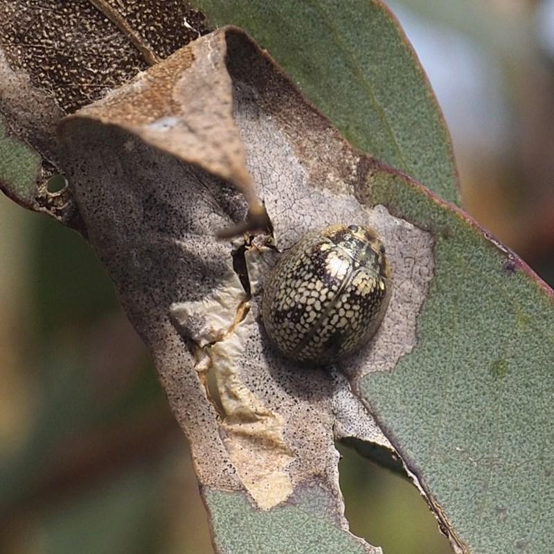 Paropsisterna sp. (genus) at Goorooyarroo - 7 Nov 2020