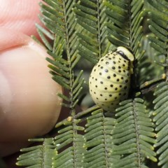 Dicranosterna immaculata (Acacia leaf beetle) at Goorooyarroo - 6 Nov 2020 by David