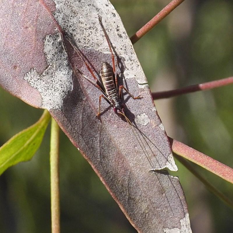 Tettigoniidae sp. (family) at Goorooyarroo - 7 Nov 2020