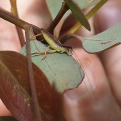 Tettigoniidae sp. (family) (Unidentified katydid) at Goorooyarroo - 6 Nov 2020 by David