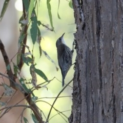 Cormobates leucophaea (White-throated Treecreeper) at Wonga Wetlands - 2 Nov 2020 by PaulF
