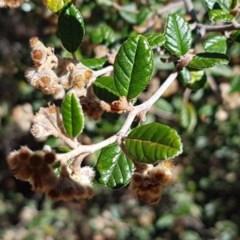 Pomaderris betulina subsp. betulina (Birch Pomaderris) at Flea Bog Flat, Bruce - 9 Nov 2020 by tpreston