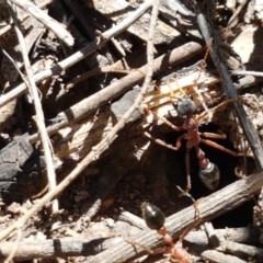 Myrmecia nigriceps (Black-headed bull ant) at Flea Bog Flat, Bruce - 9 Nov 2020 by tpreston