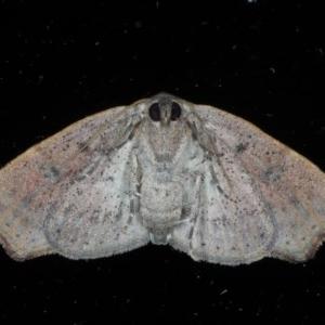 Sophta concavata at Ainslie, ACT - 9 Nov 2020