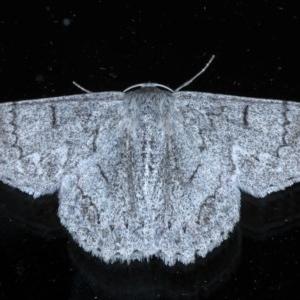 Crypsiphona ocultaria at Ainslie, ACT - 8 Nov 2020