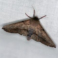 Antictenia punctunculus (A geometer moth) at Goorooyarroo - 6 Nov 2020 by ibaird