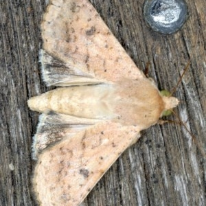 Helicoverpa armigera at Ainslie, ACT - 7 Nov 2020