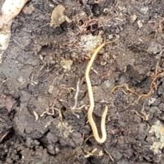 Geophilomorpha sp. (order) (Earth or soil centipede) at Flea Bog Flat, Bruce - 9 Nov 2020 by tpreston