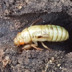 Cicadettini sp. (tribe) (Cicada) at Flea Bog Flat, Bruce - 9 Nov 2020 by tpreston