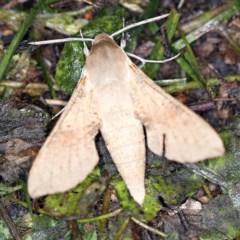 Hippotion scrofa (Coprosma Hawk Moth) at Goorooyarroo - 6 Nov 2020 by ibaird