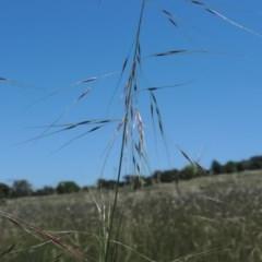 Austrostipa bigeniculata (Kneed Speargrass) at Jerrabomberra Grassland - 8 Nov 2020 by michaelb