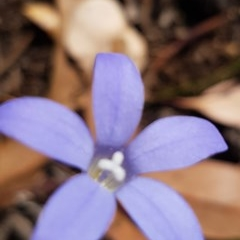 Wahlenbergia luteola (Yellowish Bluebell) at Bass Gardens Park, Griffith - 10 Nov 2020 by SRoss
