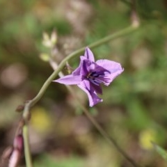Arthropodium fimbriatum (Chocolate Lily) at Red Hill Nature Reserve - 10 Nov 2020 by LisaH