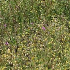 Arthropodium fimbriatum at Red Hill Nature Reserve - 10 Nov 2020