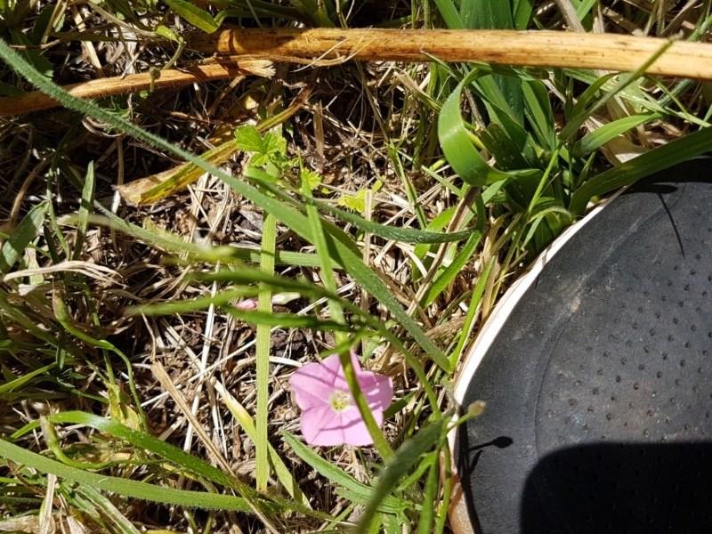 Convolvulus angustissimus subsp. angustissimus at Bass Gardens Park, Griffith - 6 Nov 2020