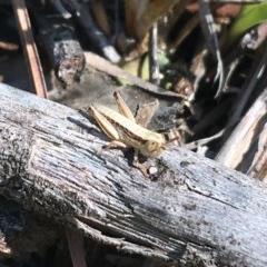 Praxibulus sp. (genus) (A grasshopper) at Flea Bog Flat, Bruce - 9 Nov 2020 by Ned_Johnston