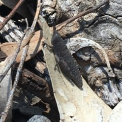 Goniaea opomaloides (Mimetic Gumleaf Grasshopper) at Flea Bog Flat, Bruce - 9 Nov 2020 by Ned_Johnston