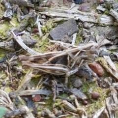 Austroicetes sp. (genus) (A grasshopper) at Franklin Grassland Reserve - 10 Nov 2020 by tpreston
