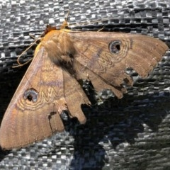 Dasypodia selenophora (Southern old lady moth) at Ginninderry Conservation Corridor - 8 Nov 2020 by Ange