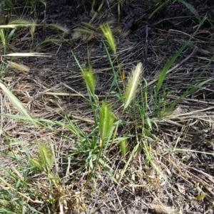 Hordeum leporinum at Franklin Grassland Reserve - 10 Nov 2020