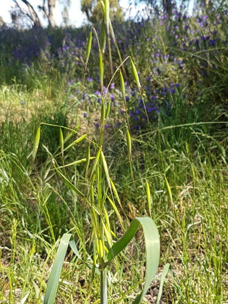 Avena sp. at Franklin Grassland Reserve - 10 Nov 2020