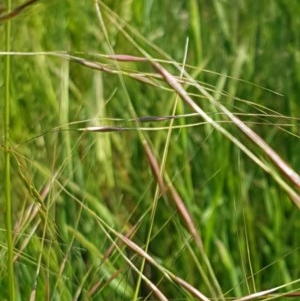 Austrostipa bigeniculata at Franklin Grassland Reserve - 10 Nov 2020