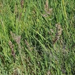 Holcus lanatus at Franklin Grassland Reserve - 10 Nov 2020