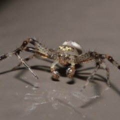 Australomisidia sp. (genus) (Crab spider) at ANBG - 6 Nov 2020 by Tim L