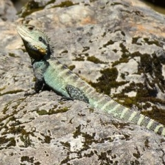 Intellagama lesueurii (Eastern Water Dragon) at Goobarragandra, NSW - 10 Nov 2020 by trevsci