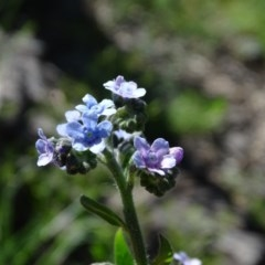 Cynoglossum australe (Australian Forget-me-not) at Mount Mugga Mugga - 10 Nov 2020 by Mike