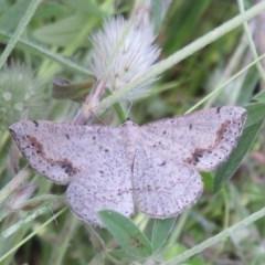 Taxeotis intextata (Looper Moth, Grey Taxeotis) at Holt, ACT - 10 Nov 2020 by Christine