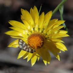 Asura lydia (Lydia Lichen Moth) at Dryandra St Woodland - 10 Nov 2020 by ConBoekel