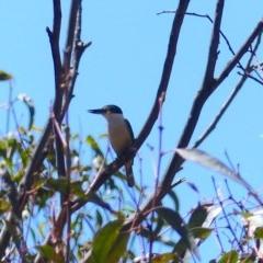 Todiramphus sanctus (Sacred Kingfisher) at Black Range, NSW - 10 Nov 2020 by MatthewHiggins