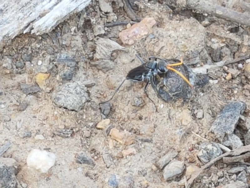 Pompilidae sp. (family) at City Renewal Authority Area - 11 Nov 2020