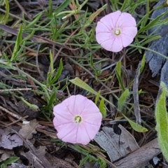 Convolvulus angustissimus subsp. angustissimus (Australian Bindweed) at City Renewal Authority Area - 10 Nov 2020 by tpreston