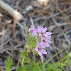 Erodium cicutarium (Common Storksbill, Common Crowfoot) at City Renewal Authority Area - 10 Nov 2020 by tpreston
