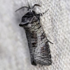 Culama suffusca (A Cossid moth) at O'Connor, ACT - 10 Nov 2020 by ibaird