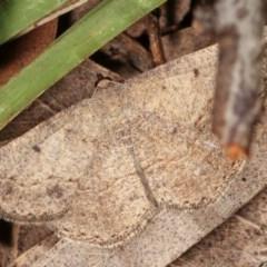 Taxeotis intextata (Looper Moth, Grey Taxeotis) at Bruce, ACT - 8 Nov 2020 by kasiaaus
