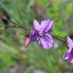 Arthropodium fimbriatum (Chocolate Lily) at Dryandra St Woodland - 10 Nov 2020 by ConBoekel