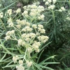 Cassinia longifolia (Shiny Cassinia, Cauliflower Bush) at Gossan Hill - 1 Nov 2020 by goyenjudy