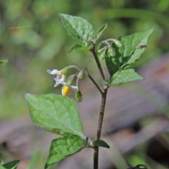 Solanum nigrum (Black-berry Nightshade) at Dryandra St Woodland - 9 Nov 2020 by ConBoekel