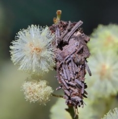 Psychidae sp. (family) (Unidentified case moth or bagworm) at Dryandra St Woodland - 9 Nov 2020 by ConBoekel