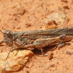 Urnisa guttulosa (Common Urnisa) at Dryandra St Woodland - 8 Nov 2020 by ConBoekel