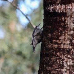 Cormobates leucophaea (White-throated Treecreeper) at Yurammie State Conservation Area - 8 Nov 2020 by RossMannell