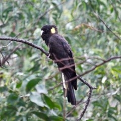 Calyptorhynchus funereus (Yellow-tailed Black-cockatoo) at Yurammie State Conservation Area - 8 Nov 2020 by RossMannell